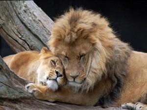 Leones-enamorados